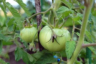 20110716_tomato